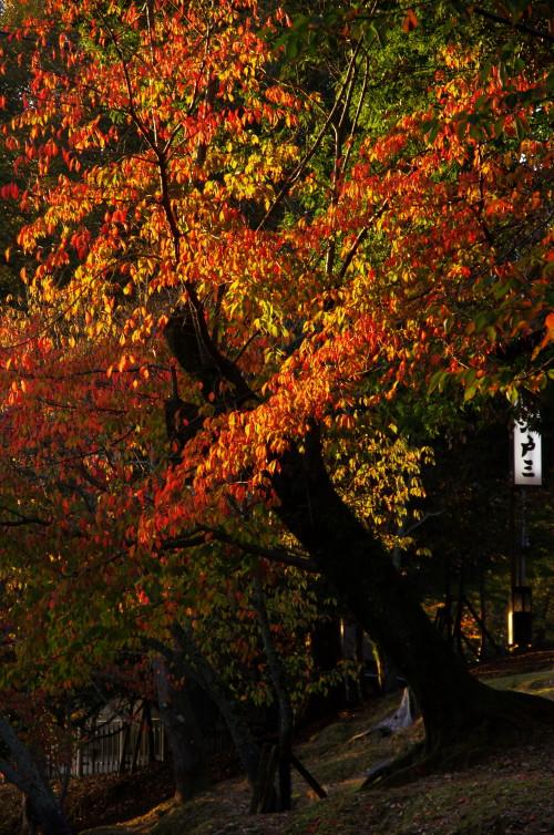 奈良公園 奈良の八重桜紅葉