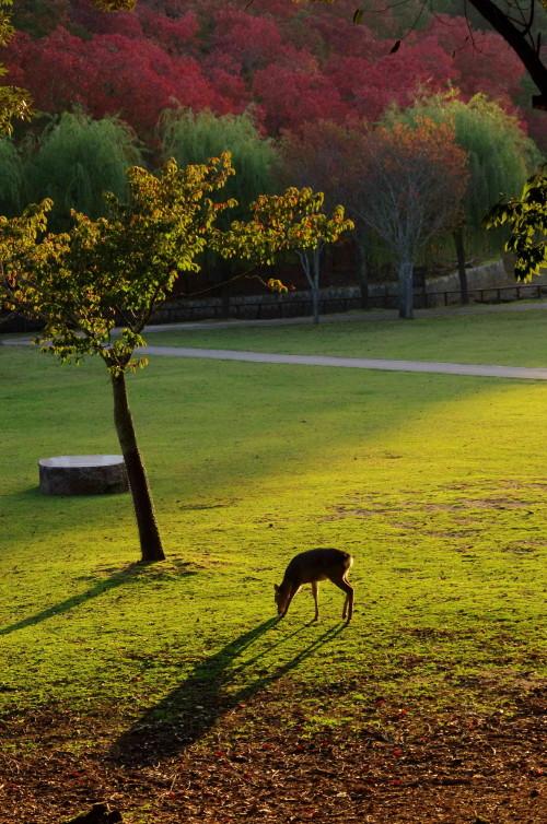 奈良公園 鷺池 ナンキンハゼ