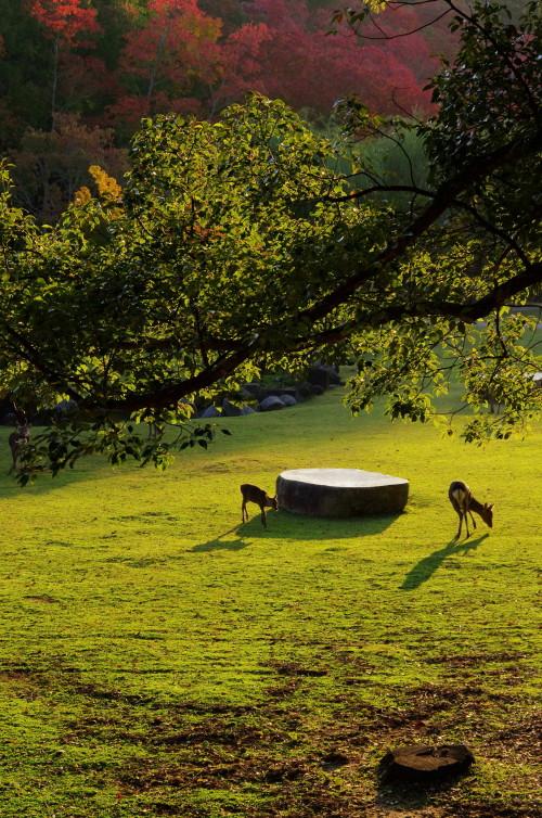 奈良公園 鷺池 ナンキンハゼと鹿1