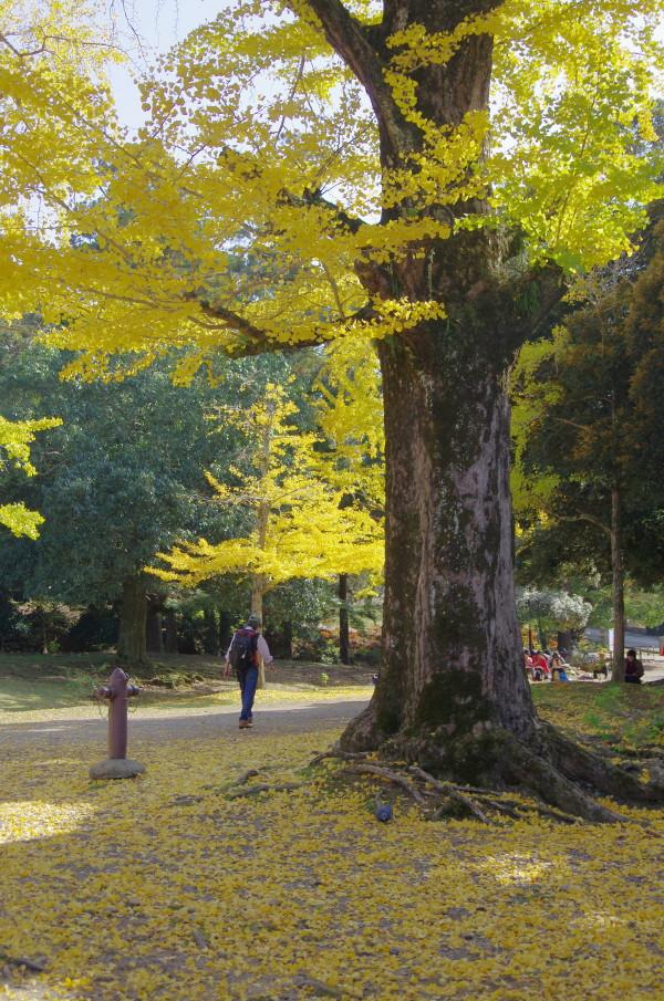 奈良公園 銀杏 正倉院