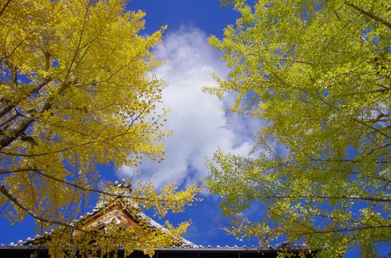天理 教会の銀杏並木