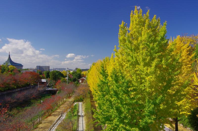天理 銀杏並木