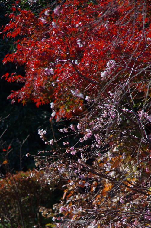 当麻寺 奥院 10月桜