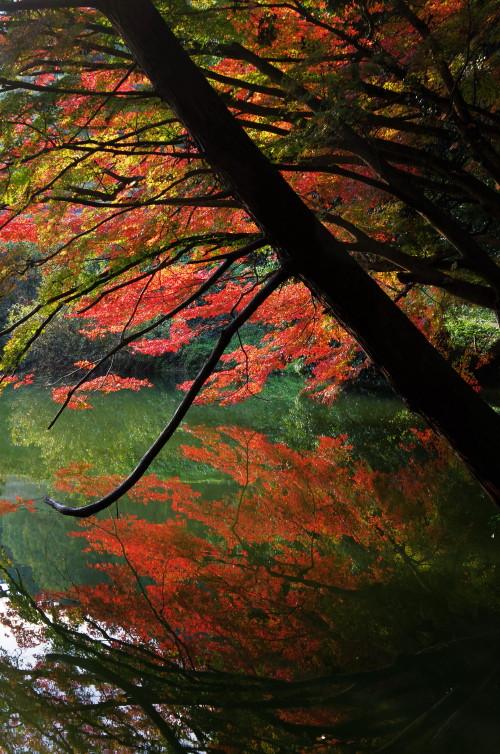 高鴨神社 紅葉 池