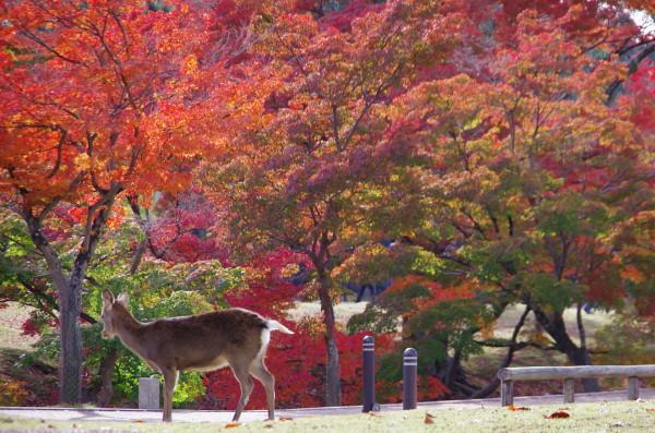 奈良公園 吉城川 椛紅葉