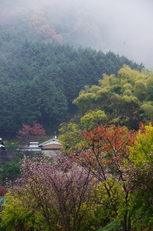 山の辺の道 十月桜5
