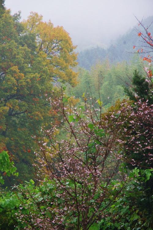 山の辺の道 十月桜7
