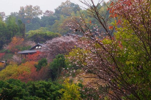 山の辺の道 十月桜2