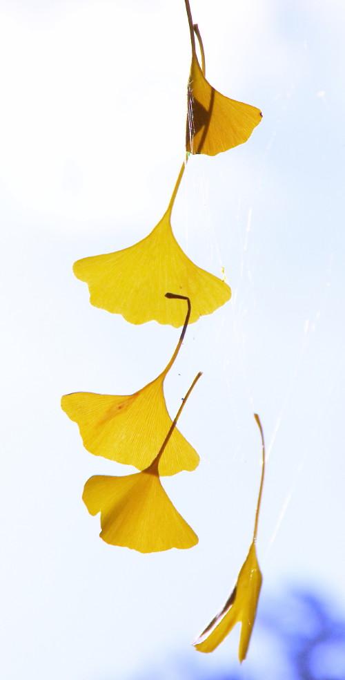 銀杏 落葉