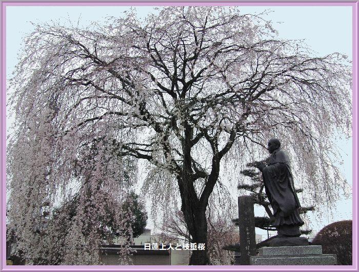 2013妙道寺の枝垂桜