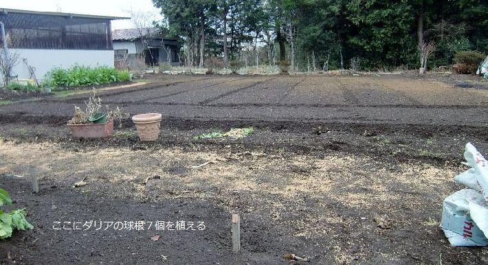 畑と植えたダリア