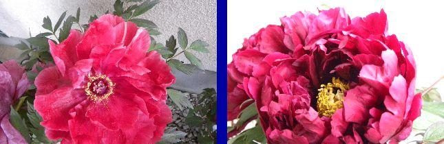 島錦花弁の特徴