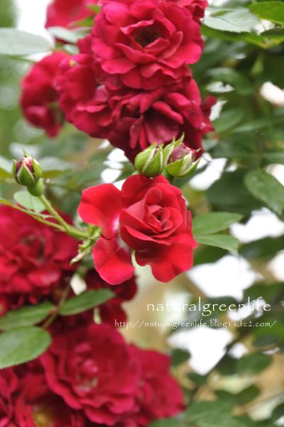 薔薇 ファイヤーメディランド
