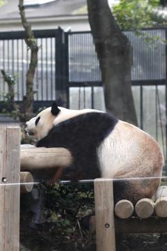 まずはパンダ