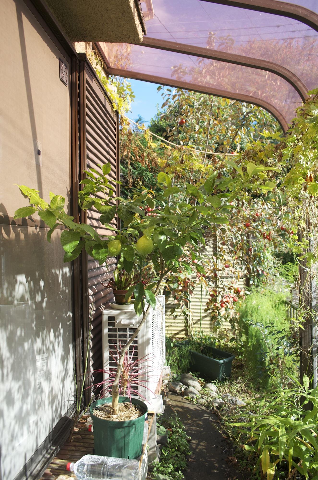 2014年11月のレモンの木