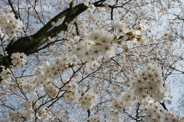 IMG_1319桜4