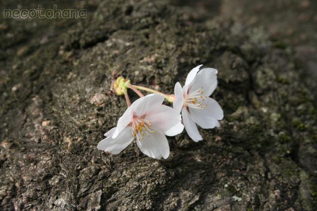 IMG_1322桜5