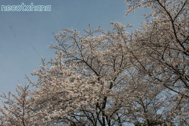 IMG_1318桜3