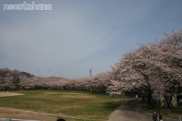 IMG_1316桜2