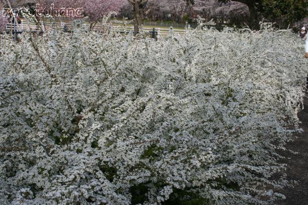 IMG_1315桜1