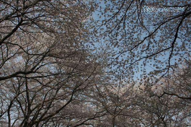 IMG_1332桜3