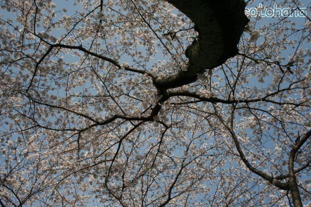 IMG_1338桜5