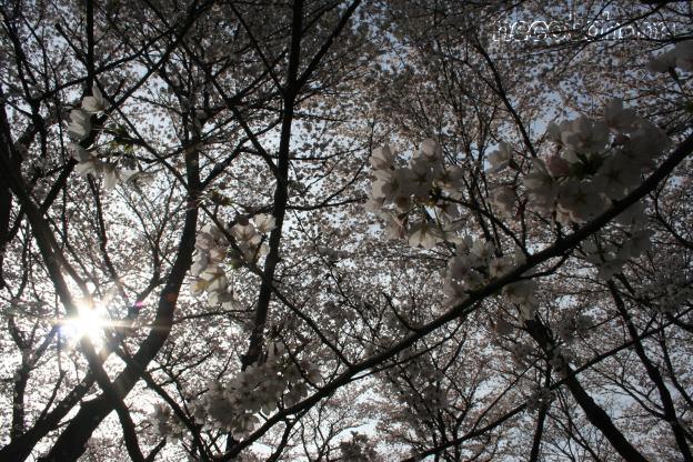 IMG_1334桜4