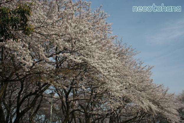 IMG_1325桜1