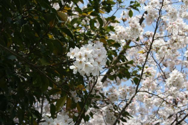 IMG_1327桜2