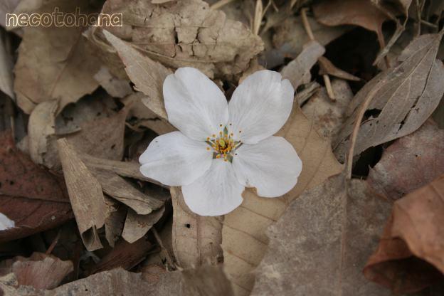 IMG_1331桜2