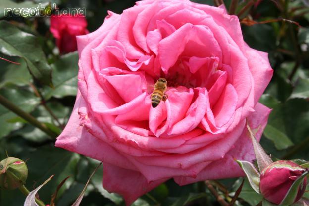 IMG_1581ミツバチ2