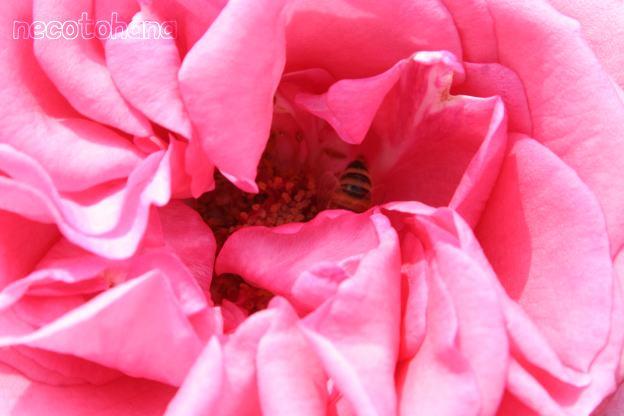 IMG_1576ミツバチ1