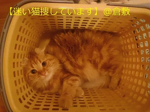 【迷い猫】倉敷市*長毛茶トラ猫ゆめちゃんを捜しています