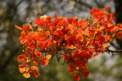 gulmohar-may12.jpg