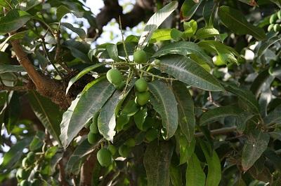 mangotree-rambaghpalace.jpg