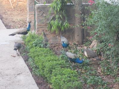 peacock-may12a.jpg
