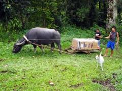 水牛が洗濯機を運ぶ