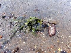 海藻がからみつく