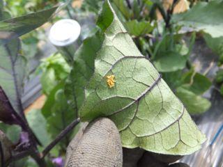 ナスの葉の卵