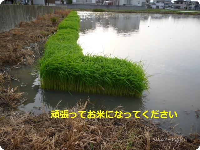 これが有名な『稲田 稲造』です
