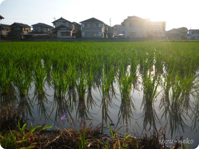 鈴猫地方の琵琶湖の稲造