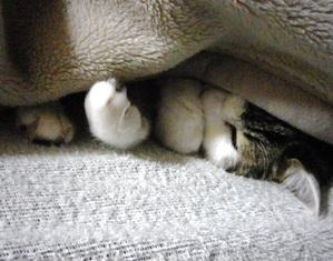 キジ白猫すやすや