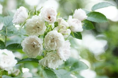 白のバラ1