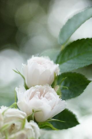 白のバラ2
