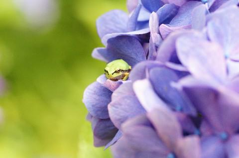 かえると紫陽花1
