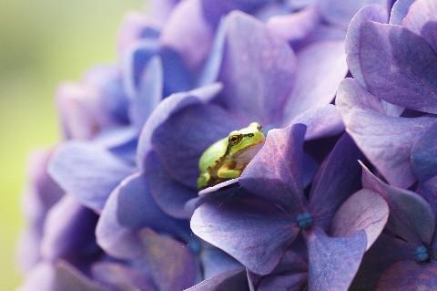 かえると紫陽花2