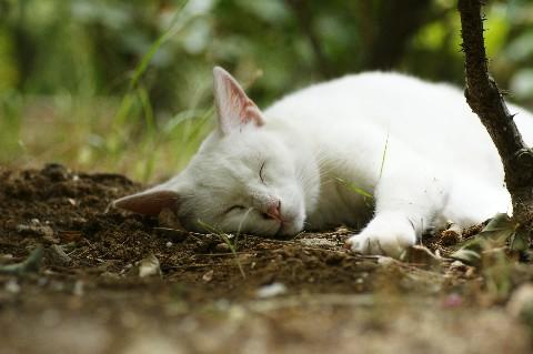 おやすみ白にゃん