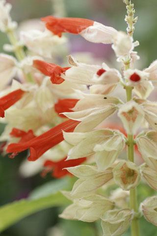 サルビア白×赤