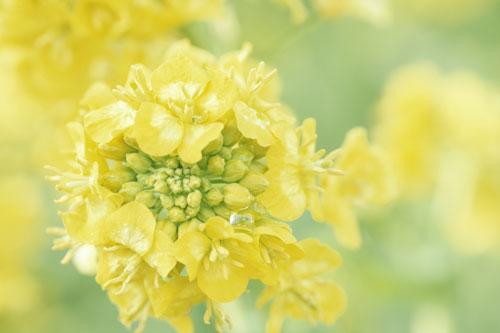 20160410菜の花