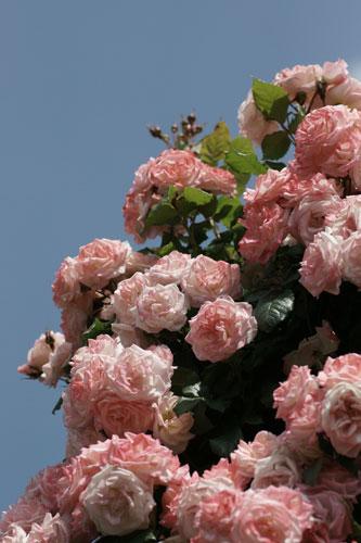 青空と薔薇1